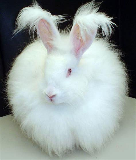 fluffy white ملف fluffy white bunny rabbit jpg