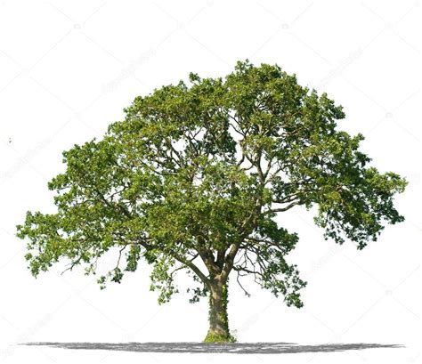 define tree beautifull green tree on a white background in high