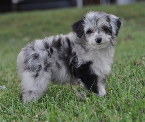 aussiepoo puppies aussiedoodle australian shepherd poodle mix info puppies pictures