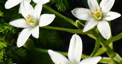 fiori di bach stella di betlemme la stella di betlemme il fiore di bach per chi 232