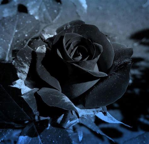 17 Best Images About Black Rose Obsession On Pinterest Black Roses For