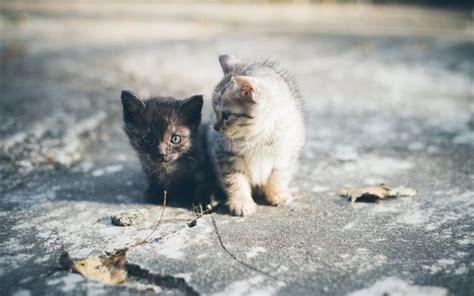 witte siberische kittens dieren katten bureaublad achtergrond schattige dieren zwart katje