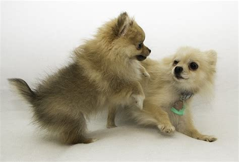 pomeranian puppies black and brown black and brown pomeranian puppies www pixshark images galleries with a bite