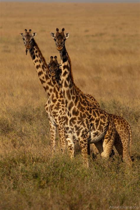 imagenes de jirafas en familia jirafas en la sabana