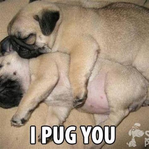 loving pug pugs mascotas cachorros y cucharas