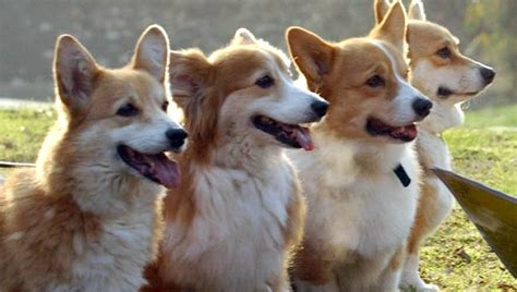 queen corgi surprising facts about queen elizabeth s royal corgis