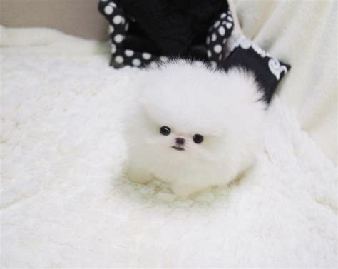 pomeranian price canada 29 best teacup pomeranian images on teacup pomeranian pomeranians and luxury