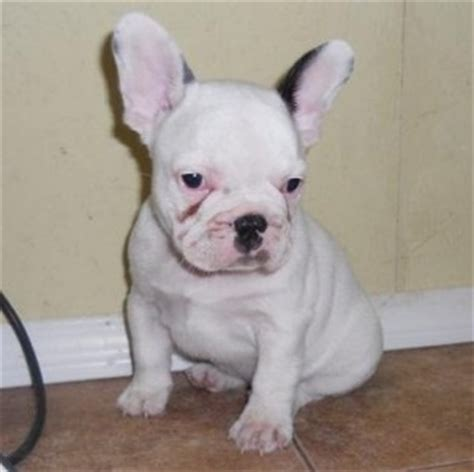 free puppies in chattanooga dogs chattanooga tn free classified ads