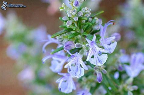 fiori rosmarino rosmarino