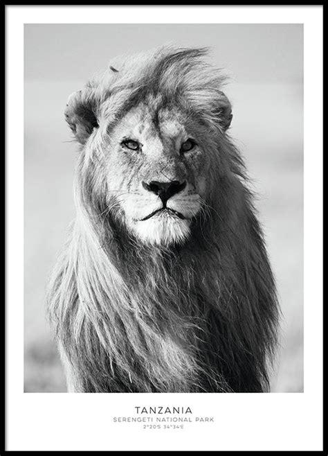 film avec un lion noir beau poster avec un lion affiches noir et blanc pour