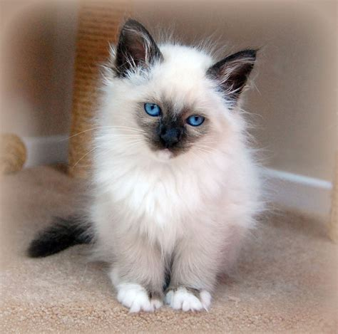 Best Colors For Home by Birman Cat Facts Pictures Characteristics Diet