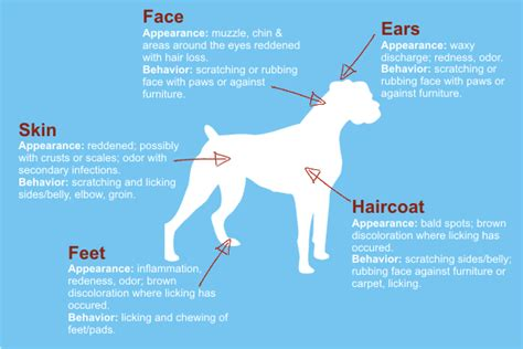 signs of allergies in dogs allergy symptoms common allergy symptoms in dogs breeds picture