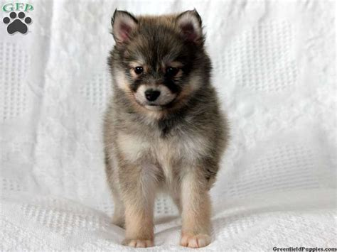 pomsky puppies for sale in pa 126 best images about pomsky puppies adorable on pomeranian husky baby