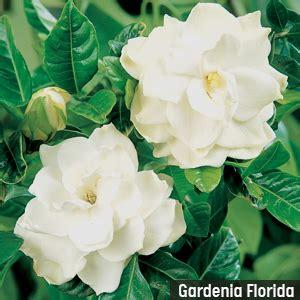 gardenia care  spring flower power