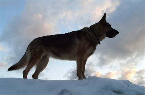 russian shepherd soviet breeds the russian army dogs