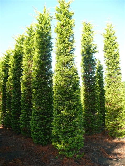 Garten Pflanzen Bestellen 647 by Cupressoparis Gold Rider 500 600 Cm Leylandzypresse