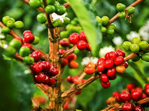 atasi hama pengerek tanaman kopi