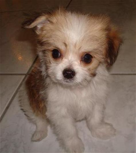 maltese chihuahua mix puppies malchi mix of chihuahua and maltese