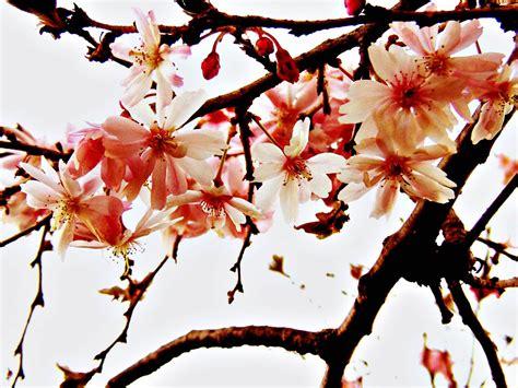 wallpaper daun sakura gambar bunga sakura selingkaran com