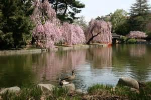 ducks cherry tree blossoms japanese pond garden photo