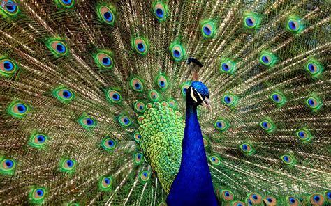 Peacock L by Coda Pavone Archivi Philosophy Kitchen