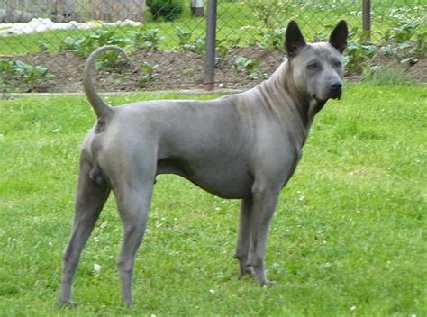 thai ridgeback puppies thai ridgeback history personality appearance health and pictures