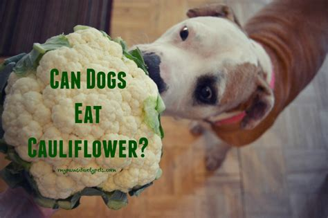 broccoli bad for dogs can dogs eat cauliflower pawsitively pets