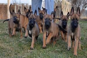belgian sheepdog vetstreet belgian sheepdog puppies adopt a belgian sheepdog dog