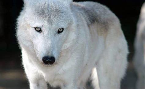 imagenes lobo blanco fotos geniales fotos de lobos salvajes im 225 genes