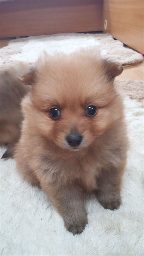 pomeranian puppies for sale in ohio pomeranian puppies for sale in ohio and breeders pomeranian puppies for sale