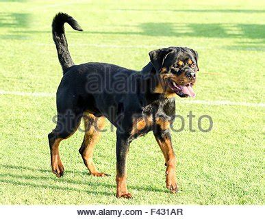 looking rottweiler animal guard watchdog guide rottweiler security safety stock photo royalty
