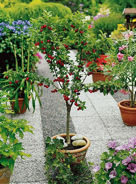 ciliegio nano in vaso best fruits to grow in pots fruits for containers