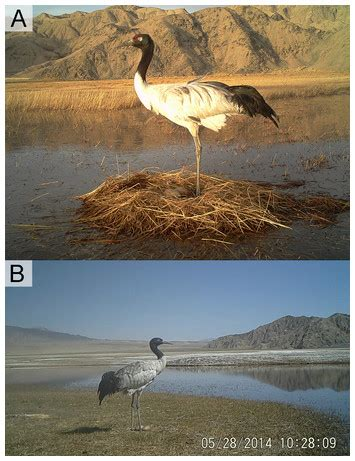 Js Meilin Black nest site selection reproductive ecology and shifts within use areas of black necked