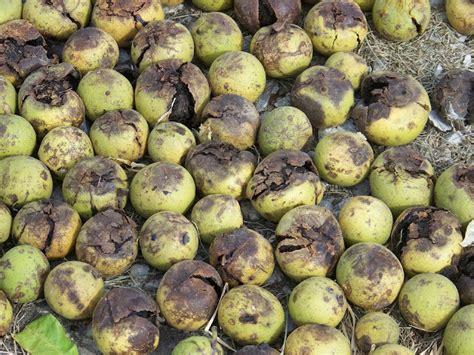 Hickery Holler Farm Shelling Black Walnuts