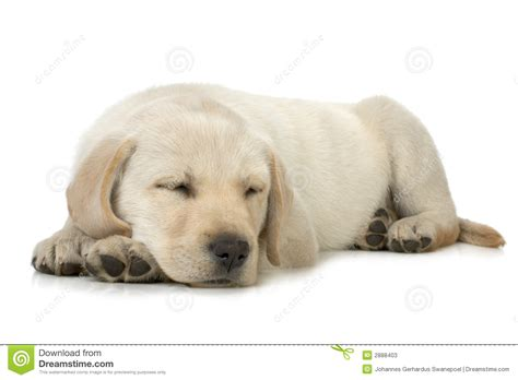 puppy sleeps all the time sleeping puppy stock photos image 2888403