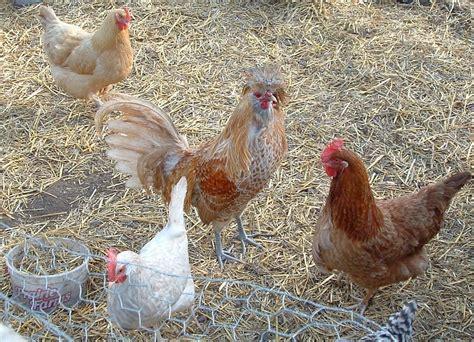 backyard chickens salmonella watch your flock salmonella outbreaks from backyard birds