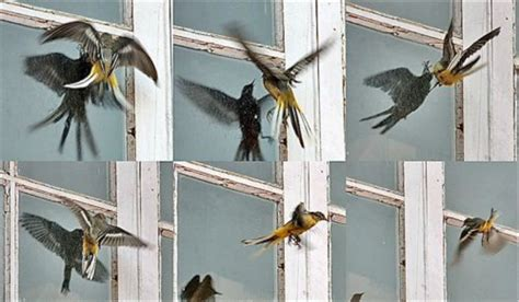 why birds smash into windows earth earthsky