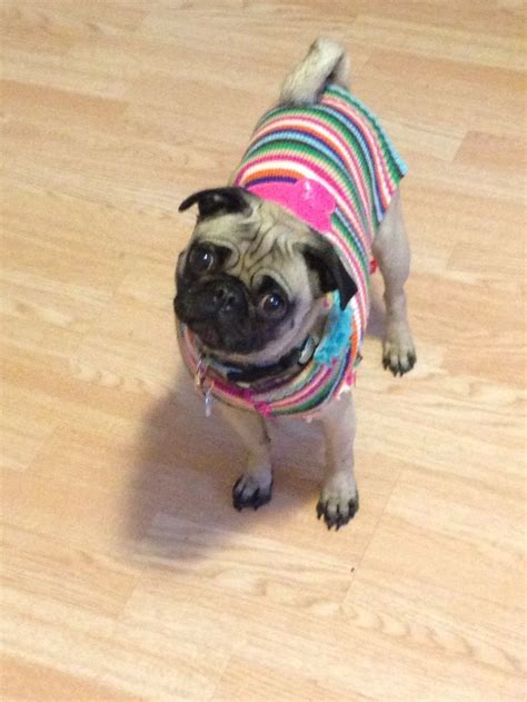 pug addiction 17 best images about caddy the pug on pet boutique so tired and toys