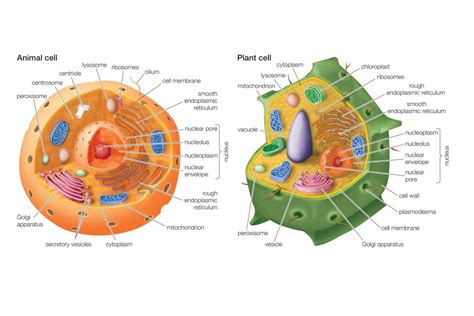 diagram of plant cell and animal cell differences between animal and plant cells
