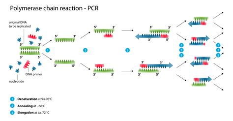 pcr product as template polymerase chain reaction pcr principle procedure