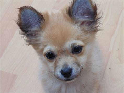 haired pomeranian for sale haired pomchi puppies nottingham nottinghamshire pets4homes