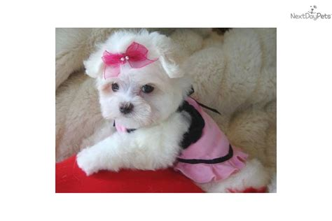 teddy puppies for sale near me maltese puppy for sale near texoma 3b4f986b 2fd1