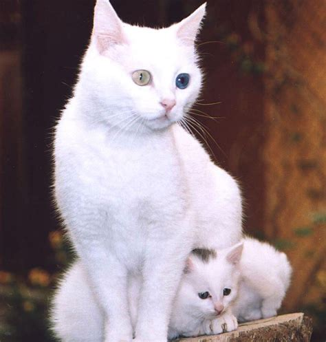 wallpaper of cat family white cat cute family wallpaper wallpaper me