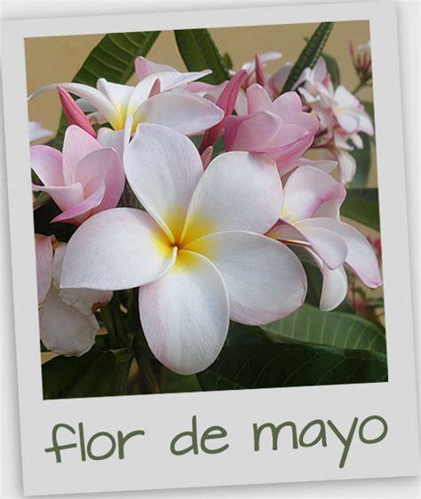 plomeria mazatlan flor de mayo plumeria in my mazatl 225 n garden countdown