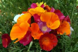 california poppy renee s garden seeds renee s blog seed of the month ca