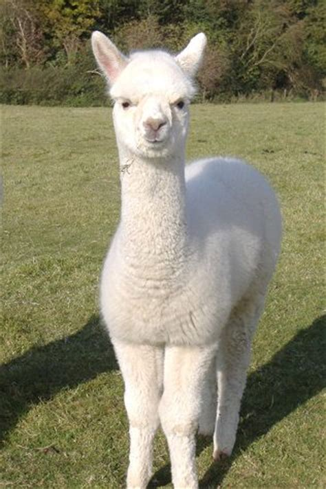 alpaca pictures  images