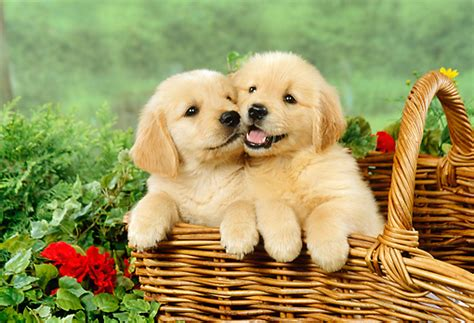golden retriever puppies images golden retriever puppies pictures and adorable pets world