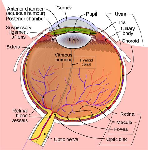 eye diagram diagrams of the human eye diagram site