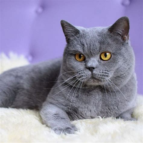 sle of grey grey cat breeds www pixshark images galleries with a bite