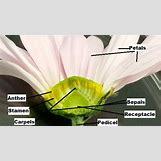 Flower Parts Carpel | 532 x 299 jpeg 66kB